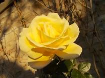 vertine rose dicembrine (2)