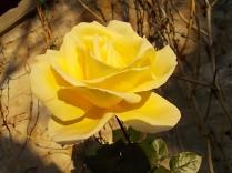 vertine rose dicembrine (3)