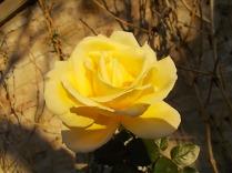 vertine rose dicembrine (4)