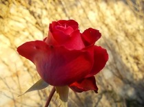 vertine rose dicembrine (5)