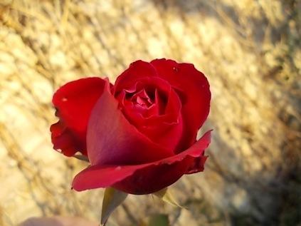 vertine rose dicembrine (6)