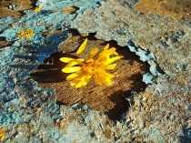 fiore giallo barca vertine (1)