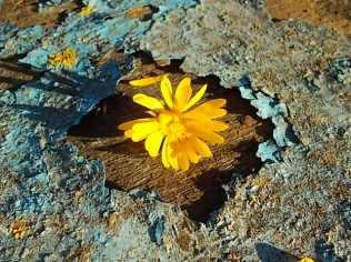 fiore giallo barca vertine (2)
