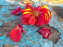 petali rosa barca vertine (10)