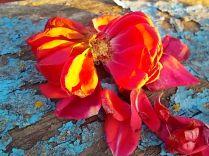 petali rosa barca vertine (11)