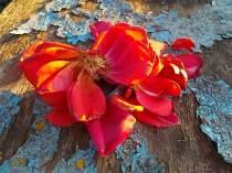 petali rosa barca vertine (12)