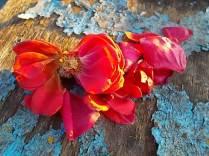 petali rosa barca vertine (13)