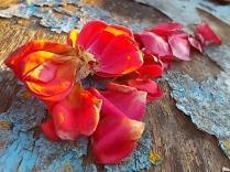 petali rosa barca vertine (14)