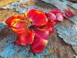 petali rosa barca vertine (15)