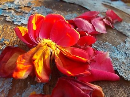 petali rosa barca vertine (16)