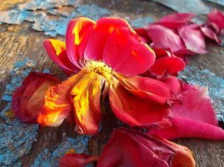 petali rosa barca vertine (17)