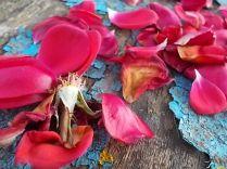 petali rosa barca vertine (18)