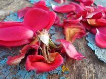petali rosa barca vertine (19)