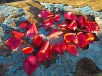 petali rosa barca vertine (2)