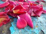 petali rosa barca vertine (23)