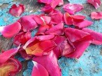 petali rosa barca vertine (24)