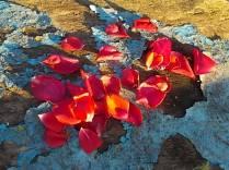 petali rosa barca vertine (3)