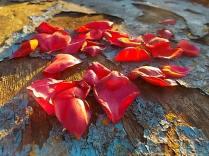 petali rosa barca vertine (4)