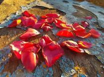 petali rosa barca vertine (5)
