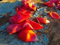 petali rosa barca vertine (6)
