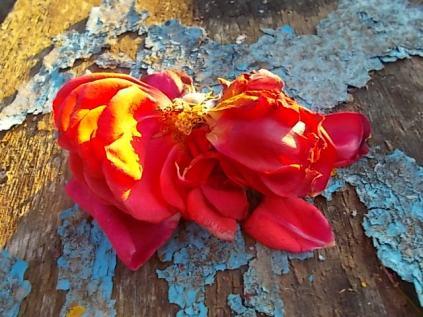 petali rosa barca vertine (7)
