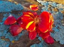 petali rosa barca vertine (8)