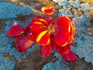 petali rosa barca vertine (9)