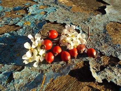rosa canina cavolacci vertine barca (1)