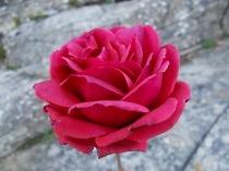rose dicembre vertine (1)
