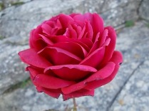 rose dicembre vertine (2)