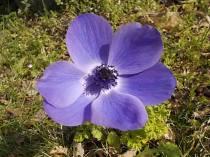 anemoni vertine (1)
