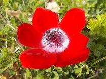 anemoni vertine (11)