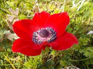 anemoni vertine (12)