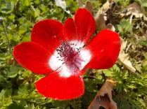anemoni vertine (14)