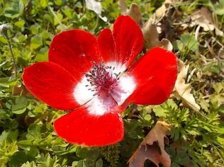 anemoni vertine (15)