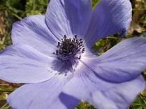 anemoni vertine (16)