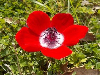 anemoni vertine (3)