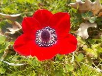 anemoni vertine (4)