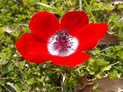 anemoni vertine (5)