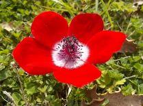 anemoni vertine (6)