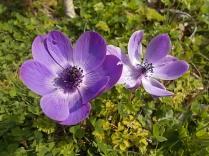 anemoni vertine (7)