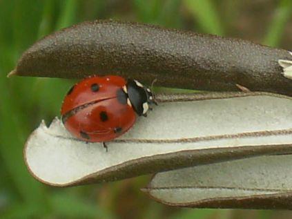 coccinella olivo (1)
