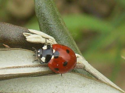 coccinella olivo (2)
