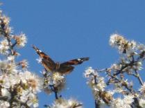 farfalla-sui-fiori-di-pruno-4.jpg