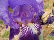 felsina-giaggiolo-iris-albero-di-giuda-glicine-limoni-3.jpg