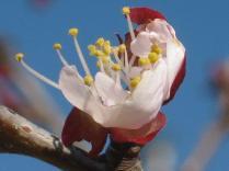 fiore-albicocco.jpg