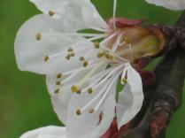 fiore-di-albicocca-5.jpg