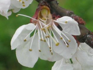 fiore-di-albicocca-6.jpg