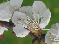 fiore-di-albicocca-8.jpg