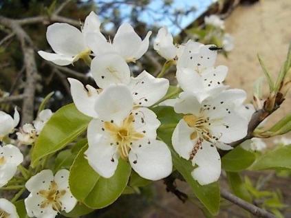 fiore-di-pero-3.jpg